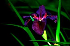 Japanese Iris, 2008;