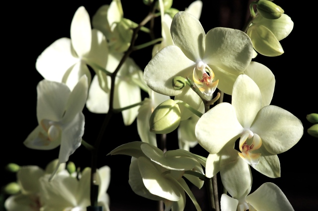 Side Orchids