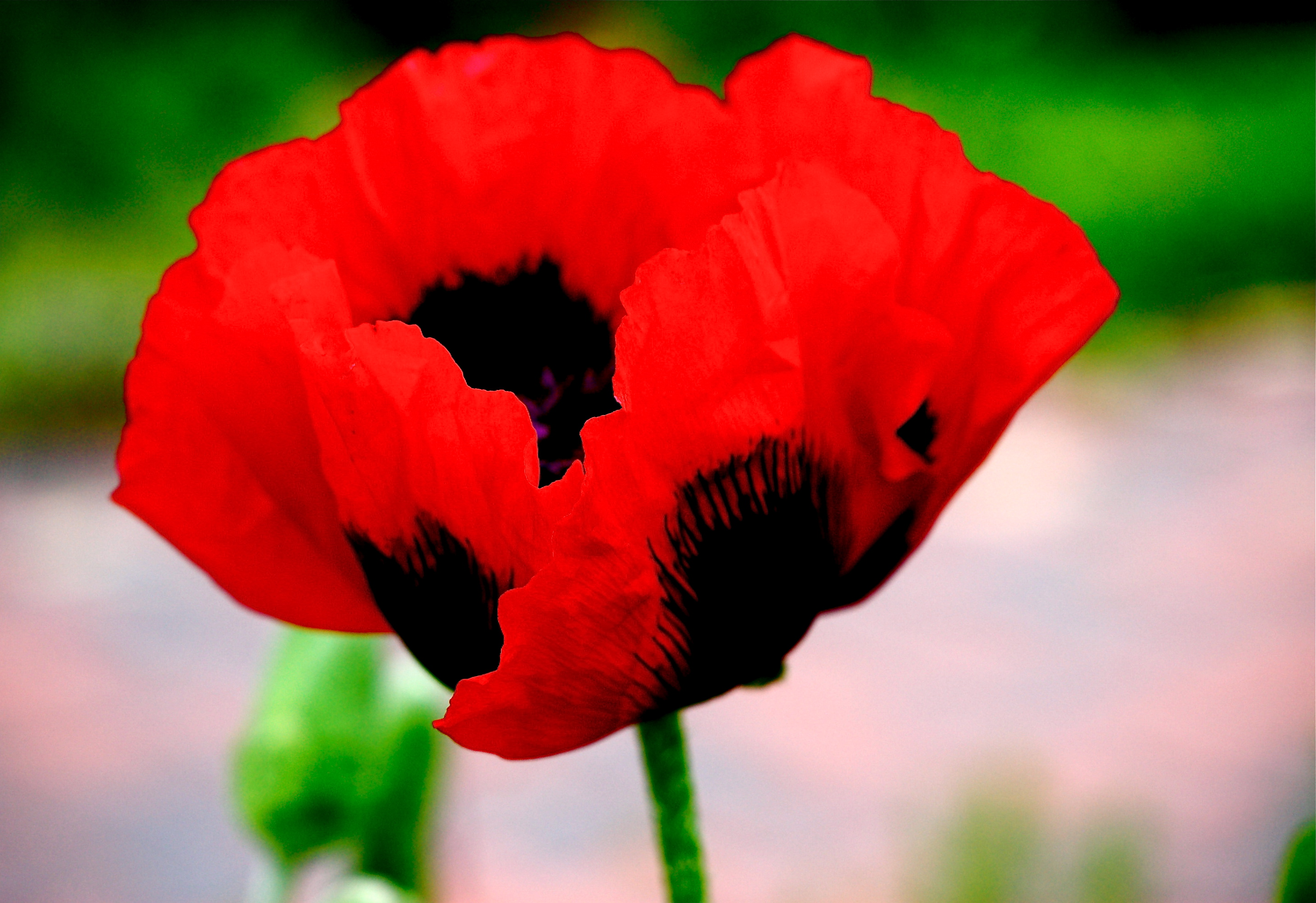Springs Oriental Poppy Part One Red With Splashes Of Black Lens