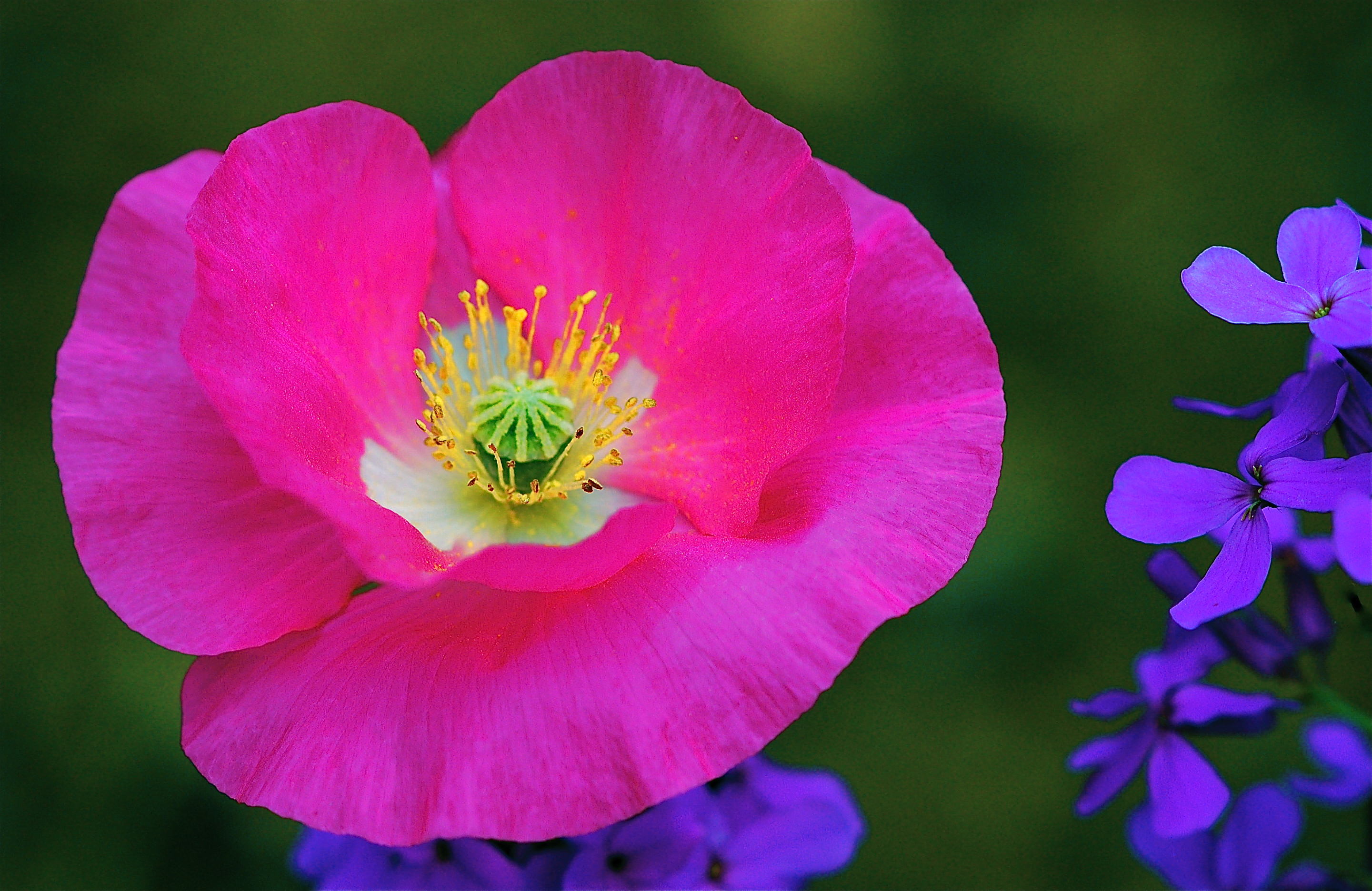 Springs Oriental Pink Poppy And Other Meadow Flowers Part Two
