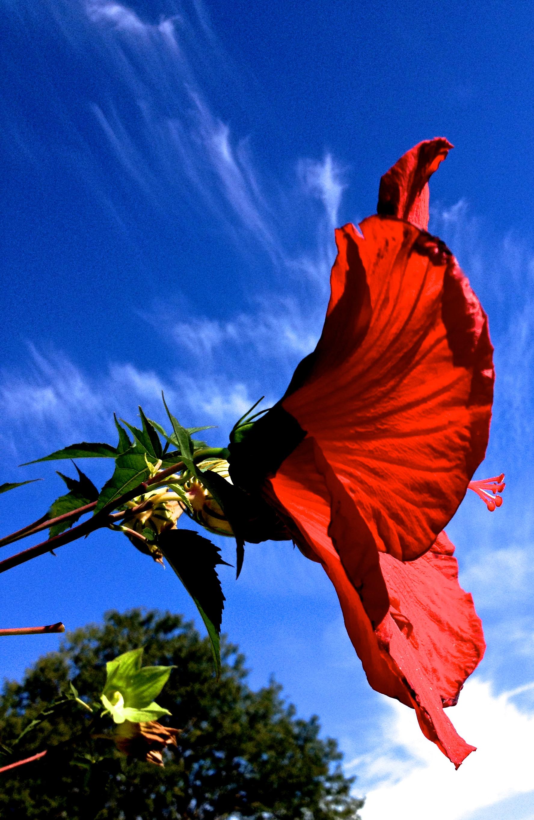 Native hibiscus an edible jewel in my garden lens and pens by sally native hibiscus an edible jewel in my garden izmirmasajfo