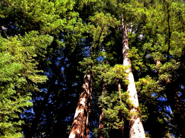 2. Redwoods, iPhone 4s, Santa Cruz, California, June 2012;