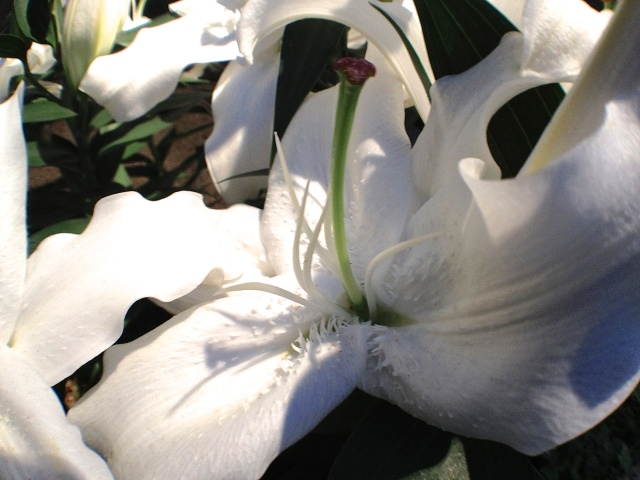 5. White Lily, Longwood Gardens, iPhone 4s, December 2012; © Sally W. Donatello and Lens and Pens by Sally, 2012