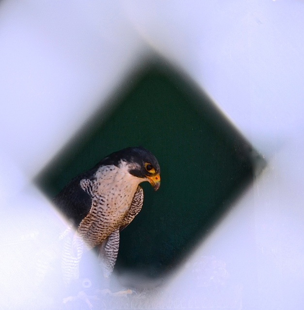 2. Peregrine Falcon, Nikon DSLR, January 2013; © Sally W. Donatello and Lens and Pens