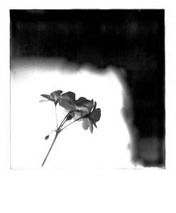 Geranium, Polaroid, October 2012; © Sally W. Donatello and Lens and Pens by Sally, 2013