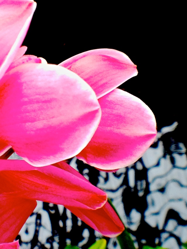 1. Cymbidium Orchid (Mixed Cultivar), Nikon DSLR, Longwood Gardens, February 2013; © Sally W. Donatello and Lens and Pens by Sally, 2013
