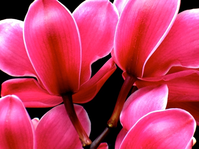 2. Cymbidium Orchid (Mixed Cultivar), Nikon DSLR, Longwood Gardens, February 2013; © Sally W. Donatello and Lens and Pens by Sally, 2013
