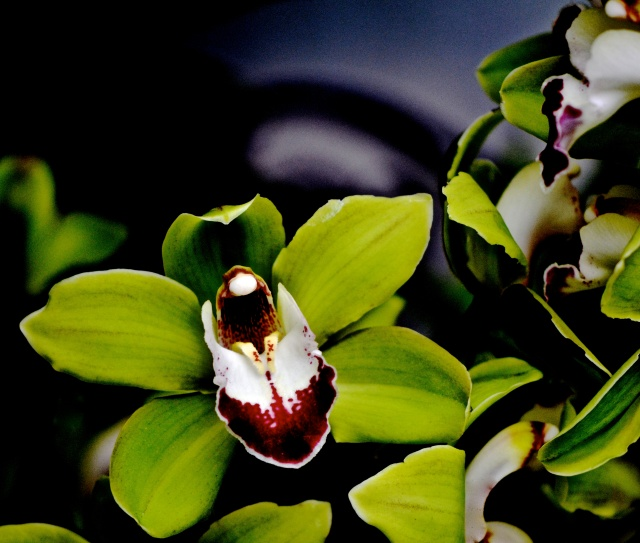 8. Cymbidium Green Orchid, Nikon DSLR, Longwood Gardens, February 2013; © Sally W. Donatello and Lens and Pens by Sally, 2013