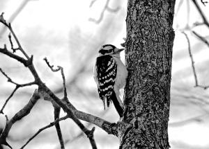 1. Downy Woodpecker, Nikon DSLR, January 2013. © Sally W. Donatello and Lens and Pens by Sally, 2013