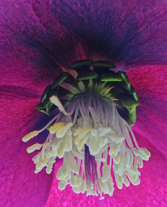 1. Purple hellebore (Helleborus purpurascens) , iPhone 4s, March 2013; © Sally W. Donatello and Lens and Pens by Sally, 2013