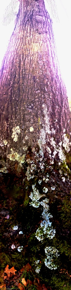 2. Lichen on Tree, iPhone 4s, November 2012; © Sally W. Donatello and Lens and Pens by Sally, 2013