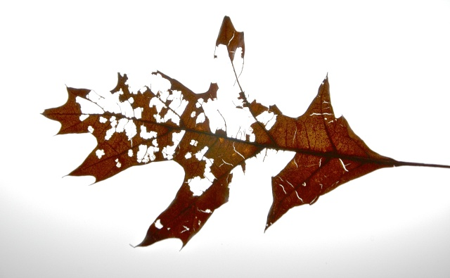 The Leaf, Nikon DSLR, March 2013; © Sally W. Donatello and Lens and Pens by Sally, 2013