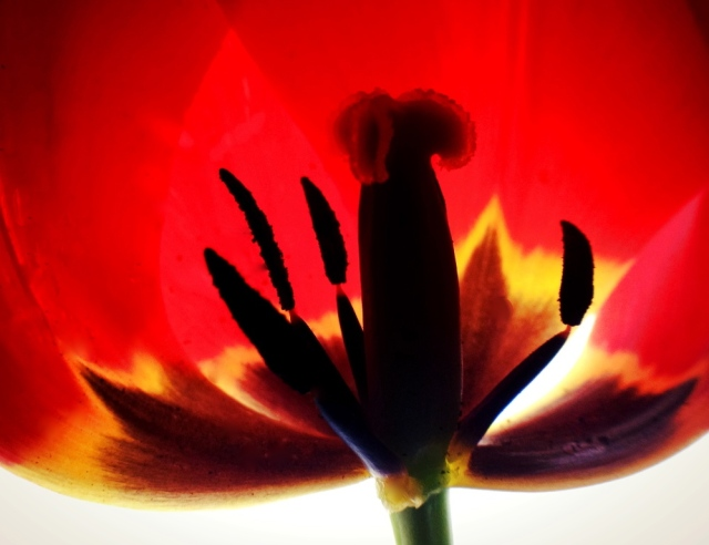 1. Tulip, iPhone 4s, April 2013; © Sally W. Donatello and Lens and Pens by Sally, 2013