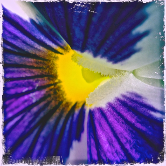 3. Pansy, iPhone 4s, April 2013; Tulip, iPhone 4s, April 2013; © Sally W. Donatello and Lens and Pens by Sally, 2013