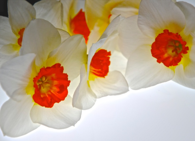 4. Narcissus, Nikon DSLR, April 2013; © Sally W. Donatello and Lens and Pens by Sally, 2013