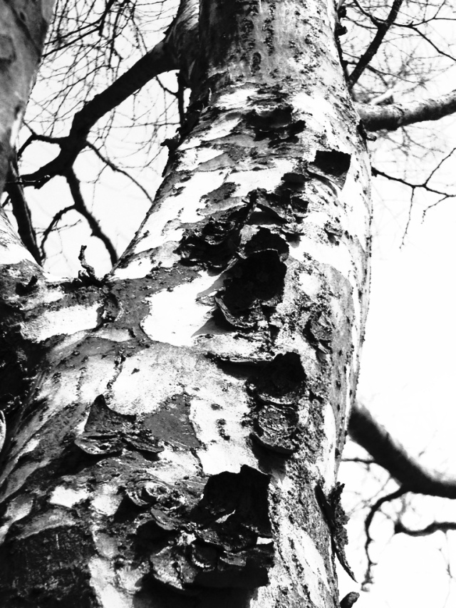 Sycamore, iPhone 4s, April 2013; © Sally W. Donatello and Lens and Pens by Sally, 2013