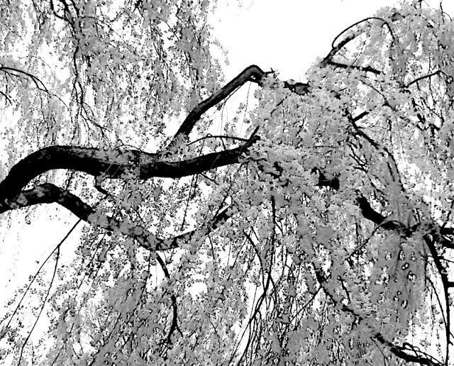 5. Weeping Willow, iPhone 4s, April 2013;© Sally W. Donatello and Lens and Pens by Sally, 2013