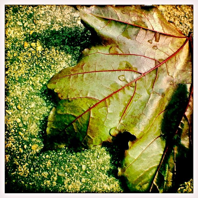 2. Dew on Maple Leaf, iPhone 4s, May 2013; © Sally W. Donatello and Lens and Pens by Sally, 2013