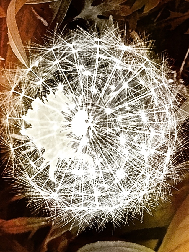 1. Dandelion, iPhone 4s, May 2013; © Sally W. Donatello and Lens and Pens by Sally, 2013