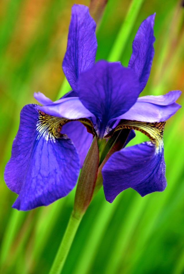 1. Siberian Iris, Nikon DSLR, May 2013; © Sally W. Donatello and Lens and Pens by Sally, 2013