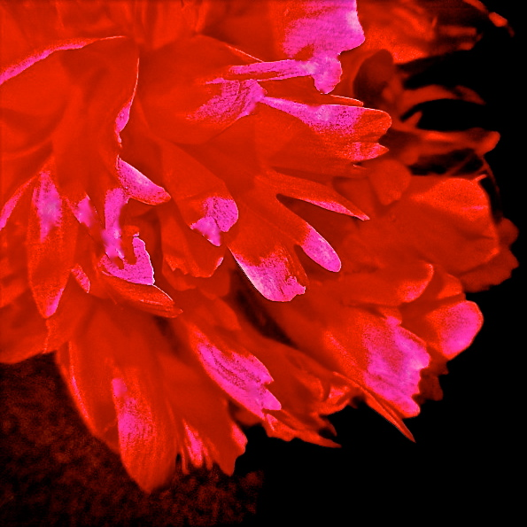 1. Spring Peony, iPhone 4s, June 2013; © Sally W. Donatello and Lens and Pens by Sally, 2013