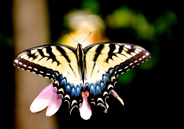 1. Swallowtail, Nikon DSLR, July 2013; © Sally W. Donatello and Lens and Pens by Sally, 2013