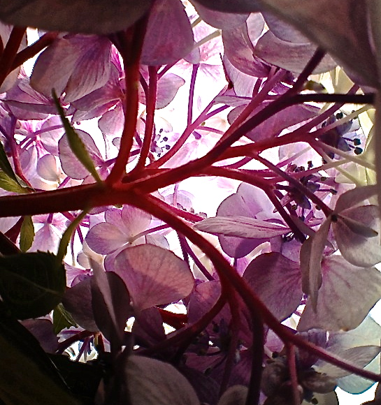 2. Hydrangea, iPhone 4s, July 2013; © Sally W. Donatello and Lens and Pens by Sally, 2013