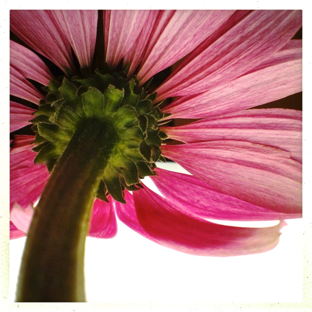 3. Coneflower, iPhone 4s, July 2013; © Sally W. Donatello and Lens and Pens by Sally, 2013