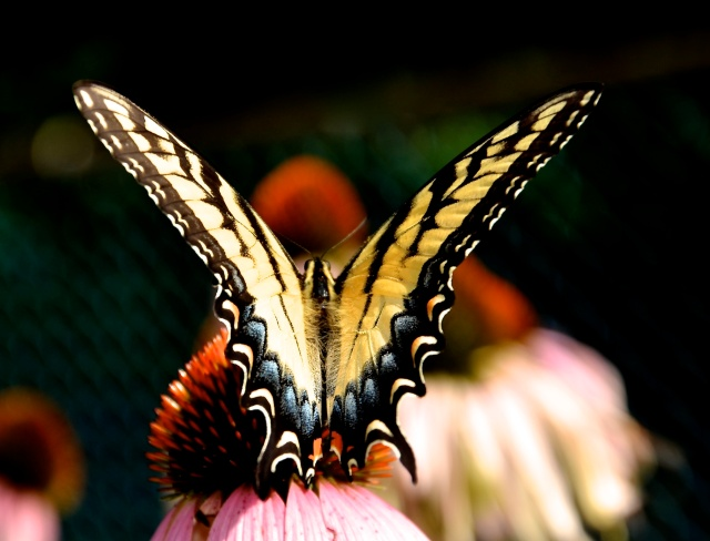 3. Swallowtail, Nikon DSLR, July 2013; © Sally W. Donatello and Lens and Pens by Sally, 2013