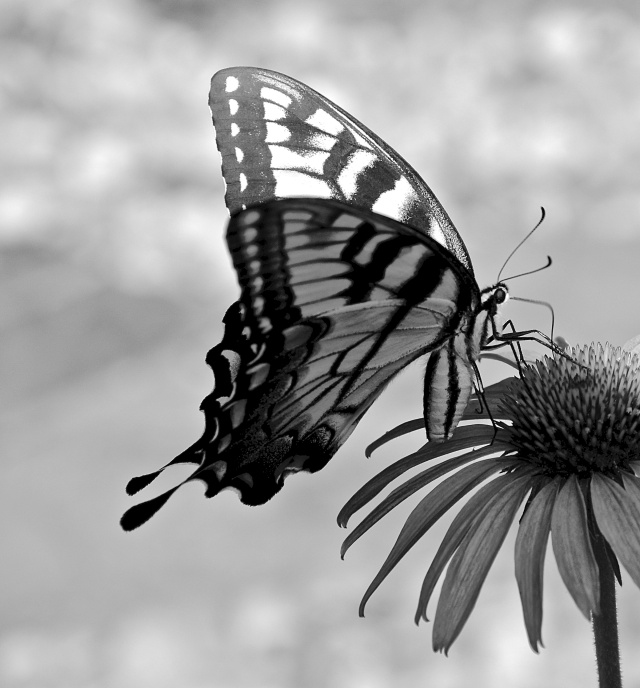 4. Swallowtail, Nikon DSLR, July 2013; © Sally W. Donatello and Lens and Pens by Sally, 2013