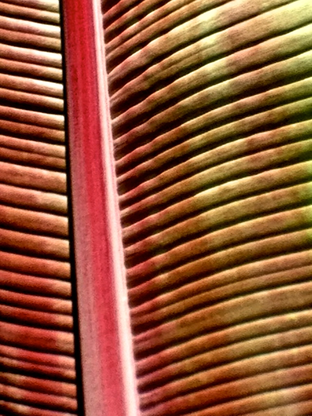 2. Canna Leaf, iPhone 4s, Longwood Gardens, July 2013; © Sally W. Donatello and Lens and Pens by Sally, 2013