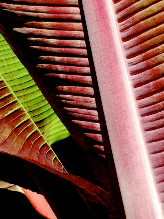 3. Canna Leaves, iPhone 4s, Longwood Gardens, July 2013; © Sally W. Donatello and Lens and Pens by Sally, 2013