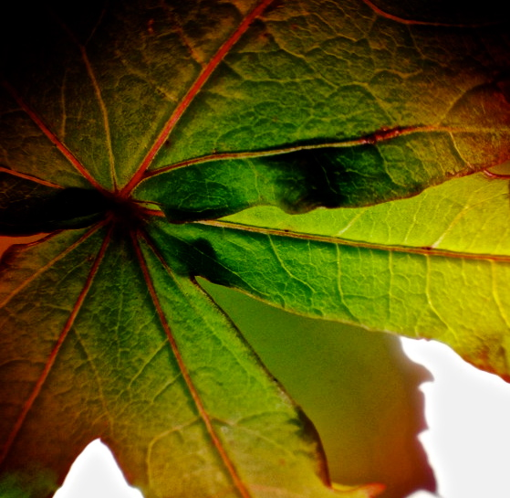5. Leaf of Native Hibiscus, iPhone 4s, August 2013; © Sally W. Donatello and Lens and Pens by Sally, 2013