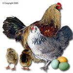 Ameraucana Chicken and Eggs, Google Images