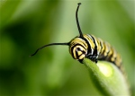Monarch Catepillar, Nikon DSLR, August 2011; © Sally W. Donatello and Lens and Pens by Sally, 2013