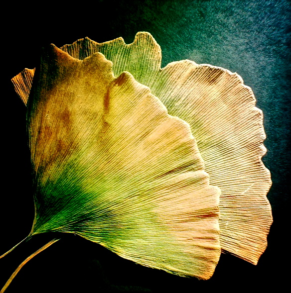1. Gingko Leaf, iPhone 4s, November 2013; © Sally W. Donatello and Lens and Pens by Sally, 2013
