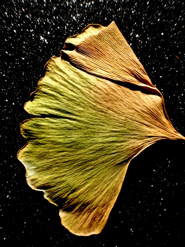 2. Gingko Leaves, iPhone 4s, November 2013; © Sally W. Donatello and Lens and Pens by Sally, 2013