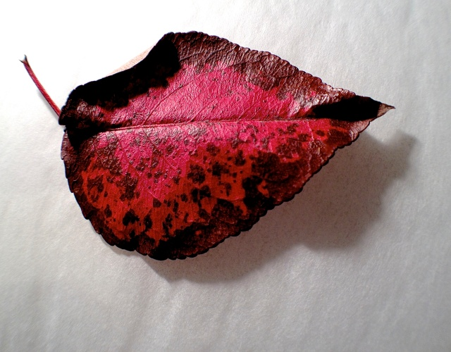 1. Leaf of Bradford Pear Tree, iPhone 4s, November 2013; © Sally W. Donatello and Lens and Pens by Sally, 2013