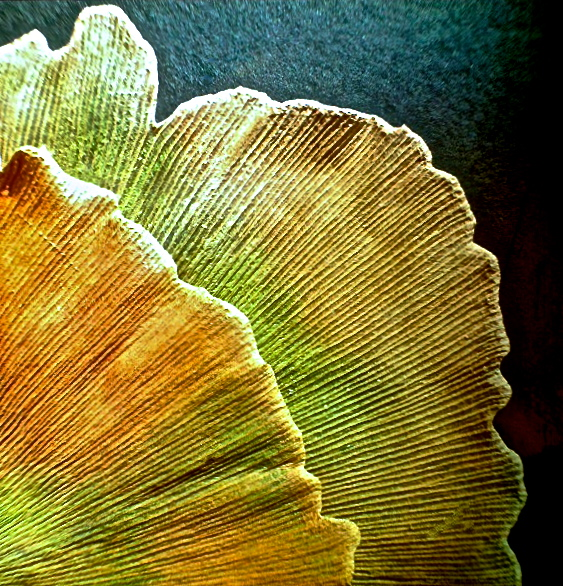 3. Gingko Leaves, iPhone 4s, November 2013; © Sally W. Donatello and Lens and Pens by Sally, 2013
