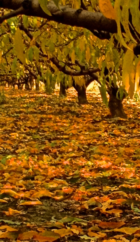 Orchard in Autumn, iPhone 4s, October 2013; © Sally W. Donatello and Lens and Pens by Sally, 2013