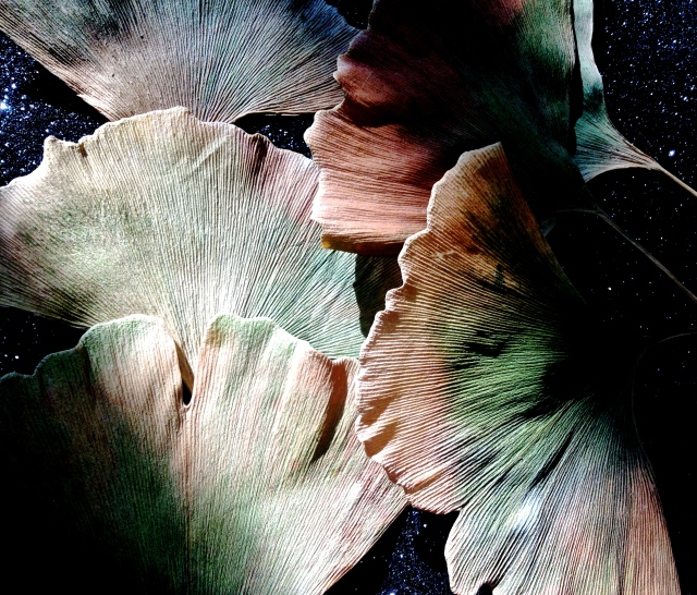 4. Gingko Leaves, iPhone 4s, November 2013; © Sally W. Donatello and Lens and Pens by Sally, 2013