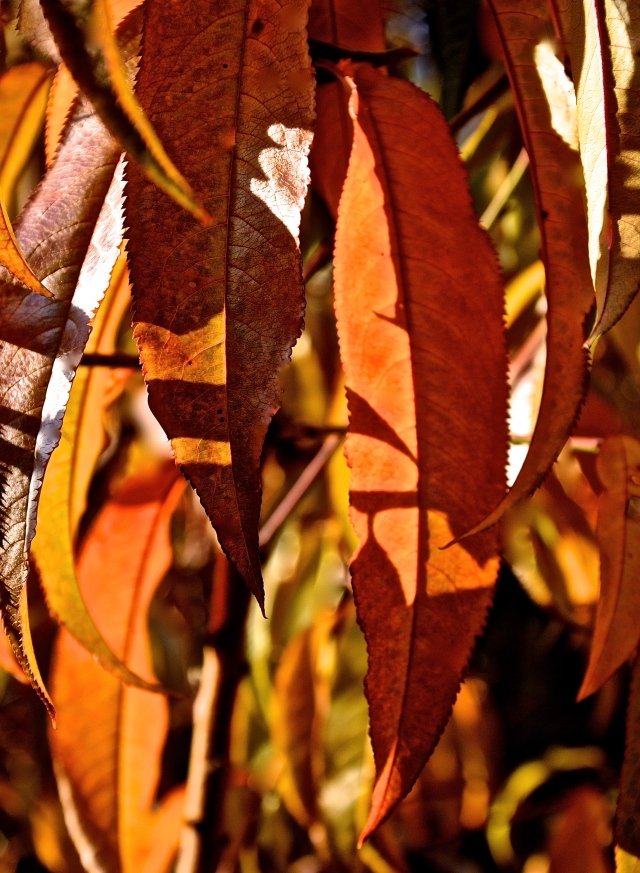 1. Golden Leaves of Autumn, Nikon DSLR, October 2013; © Sally W. Donatello and Lens and Pens by Sally, 2013
