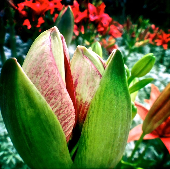 2. Amaryllis, iPhone 4s, Longwood Gardens, December 2013; © Sally W. Donatello and Lens and Pens by Sally, 2013