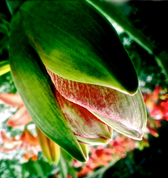 3. Amaryllis, iPhone 4s, Longwood Gardens, December 2013; © Sally W. Donatello and Lens and Pens by Sally, 2013