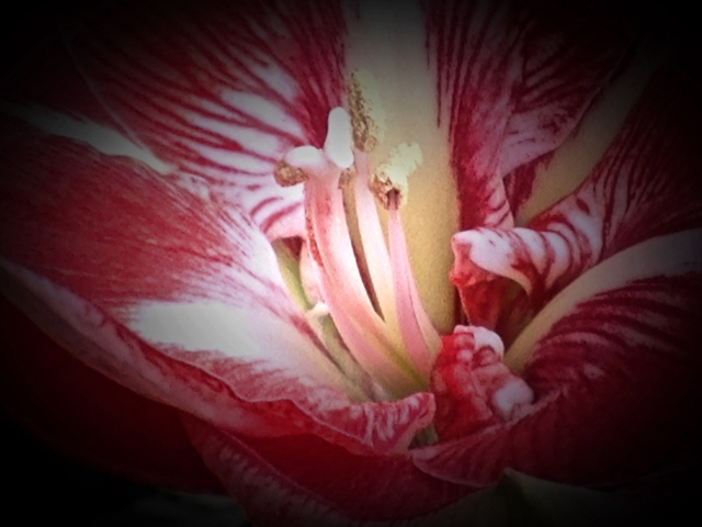 5. Amaryllis, iPhone 4s, Longwood Gardens, December 2013; © Sally W. Donatello and Lens and Pens by Sally, 2013