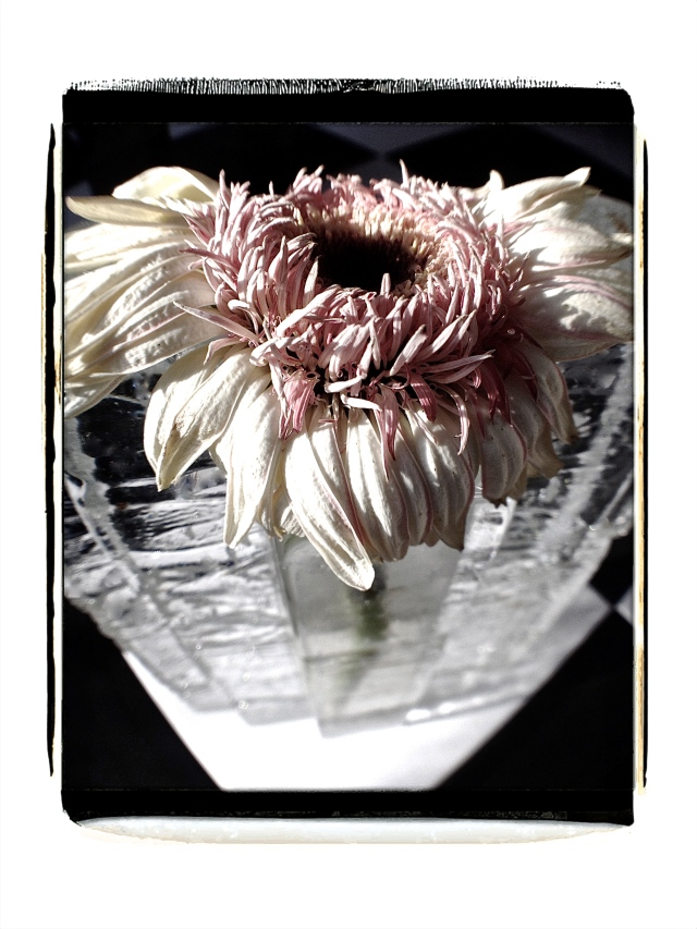 1. Gerber Daisy, iPhone 4s, January 2014;© Sally W. Donatello and Lens and Pens by Sally, 2014