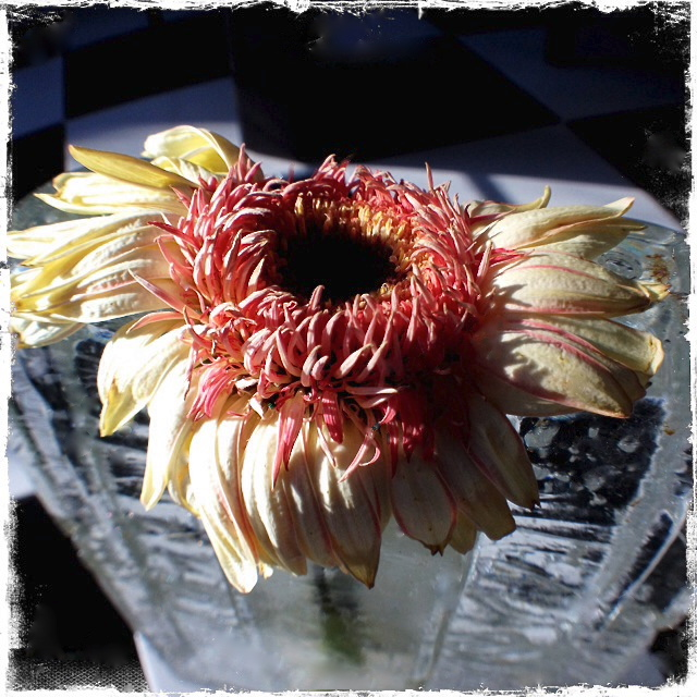 3. Drying Gerber Daisy, iPhone 4s, January 2014;© Sally W. Donatello and Lens and Pens by Sally, 2014