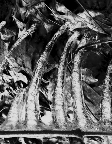 3. Icicles on  Leaves, iPhone 4s, March 2014; © Sally W. Donatello and Lens and Pens by Sally, 2014
