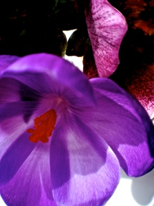 1. Crocus and Hellebores, iPhone 4s, March 2014; © Sally W. Donatello and Lens and Pens by Sally, 2014