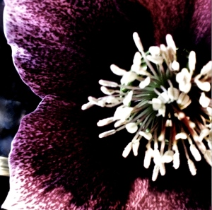 3. Hellebores, iPhone 4s, April 2014; © Sally W. Donatello and Lens and Pens by Sally, 2014